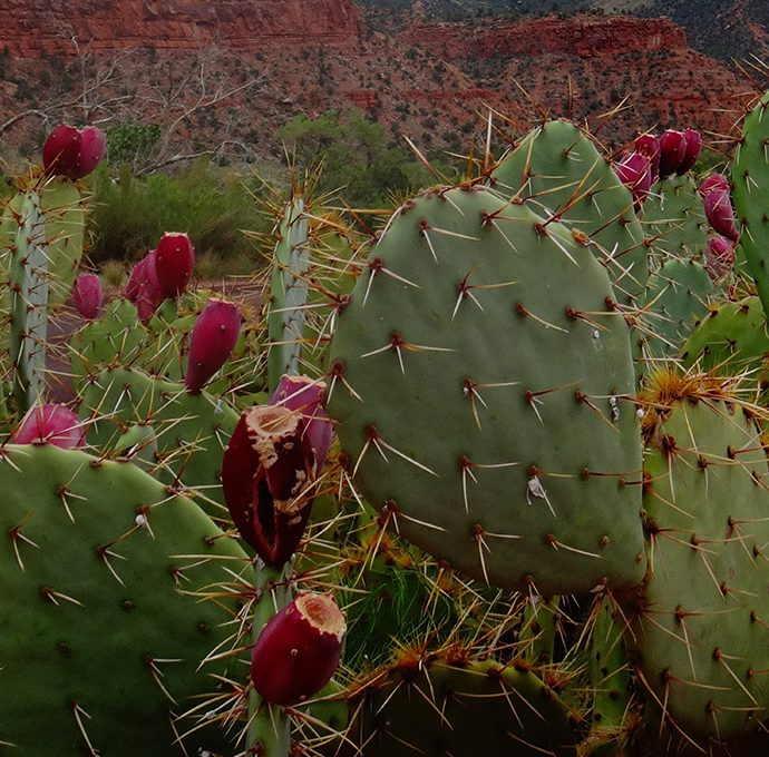 The Benefits of Prickly Pear Oil